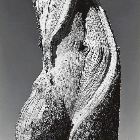 Pine, Lake Tenaya, Yosemite National Park, shot by Edward Weston, 1937